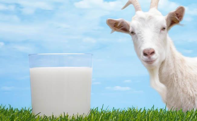 เด็กแพ้นมวัวกิมนมแพะแทนได้ไหม?